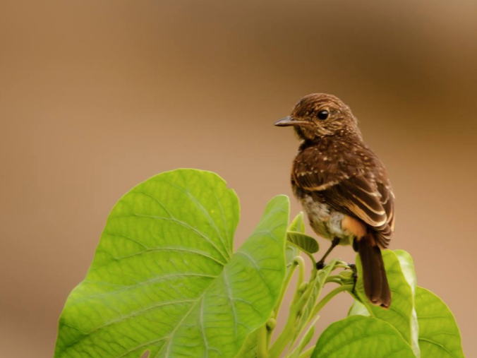 Pied Bushchat by Ramesh Desai - La Paz Group