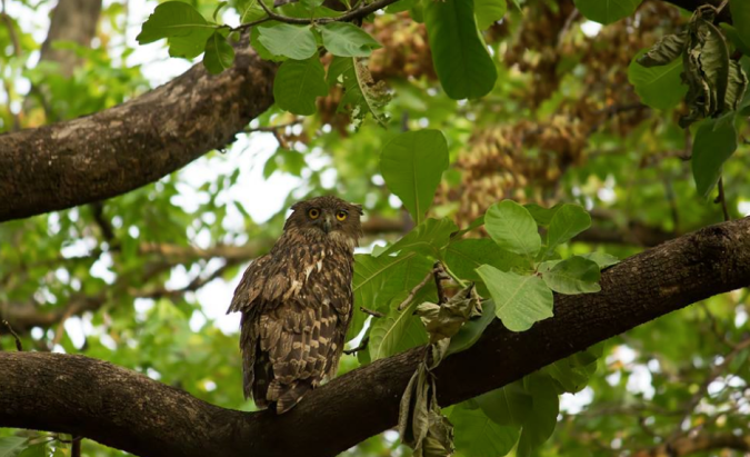 Brown Fish Owl by Sudhir Shivaram - La Paz Group