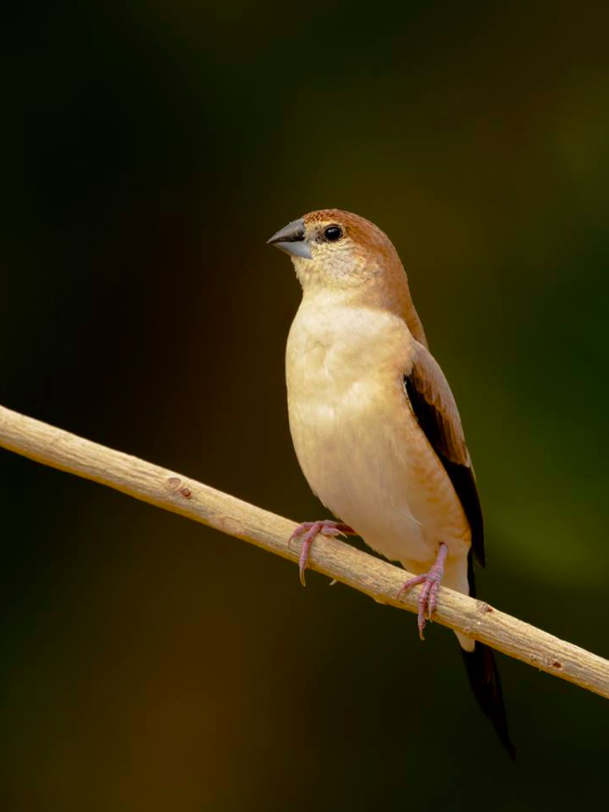 Indian Silverbill by Ramesh Desai - La Paz Group