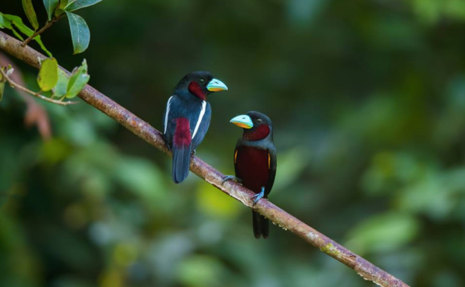 Black-and-red Broadbill by Sudhir Shivaram - La Paz Group