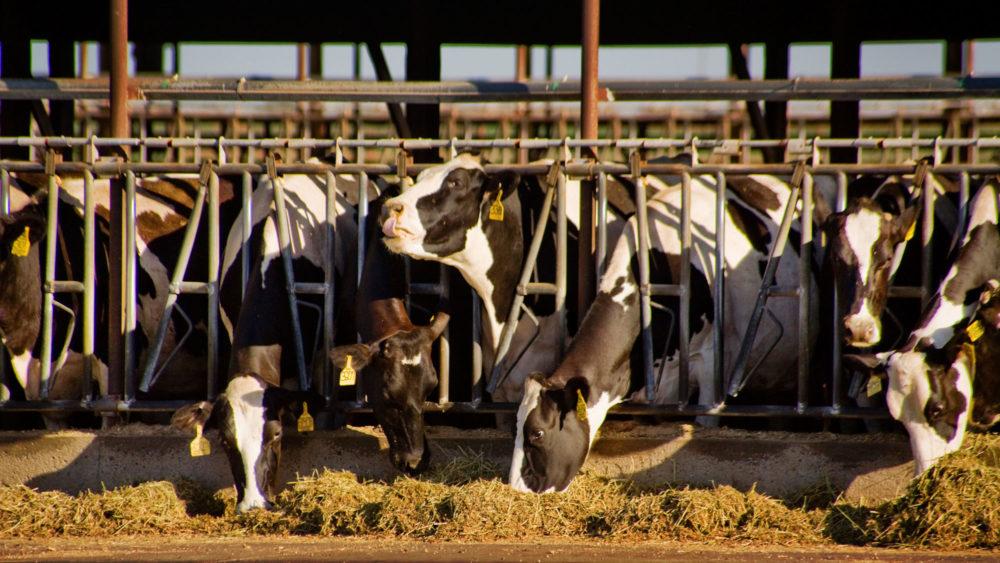 HolsteinCowsMercedCalifornia_MarmadukeStJohnAlamy_web