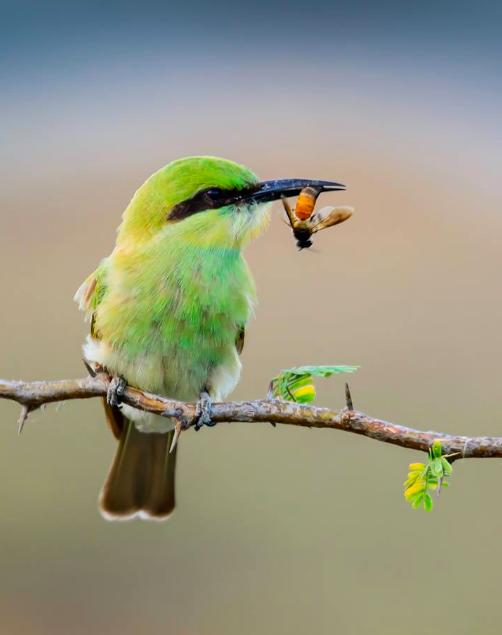 Green Bee-eater by Ramesh Desai - La Paz Group