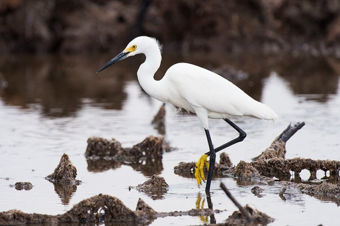 Snowy Egret by Leander Khil - La Paz Group