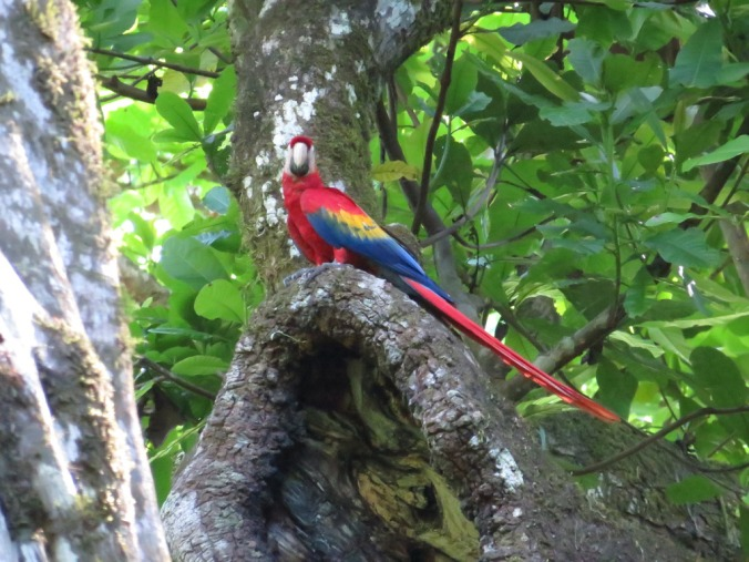 Scarlet Macaw by Seth Inman - La Paz Group