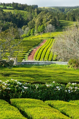 Gorreana Tea Plantation is Europe's oldest and largest tea plantation Credit Caryn B. Davis for The New York Times
