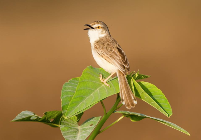 Plain Prinia by Ramesh Desai - La Paz Group