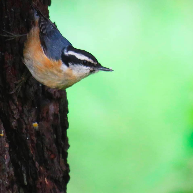 Red-breasted Nuthatch by Seth Inman - La Paz Group