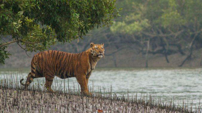 Sundarban_Tiger_SoumyajitNandy_Wikimedia_web.jpg