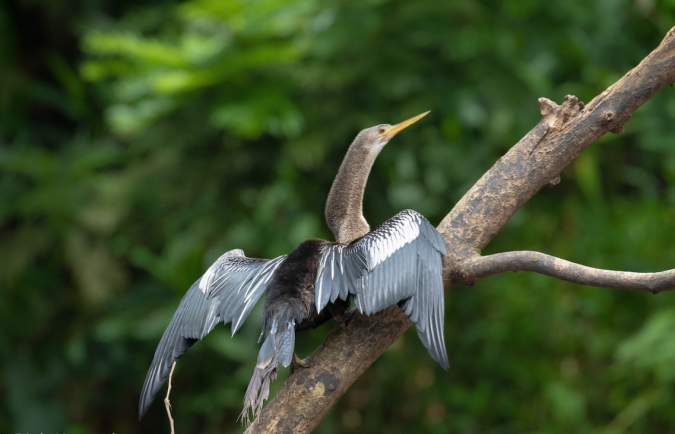 Anhinga by Richard Kostecke - La Paz Group