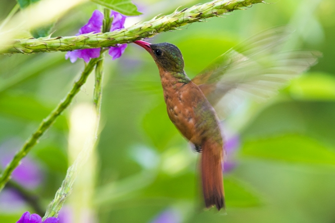 Cinnamon hummingbird by Leander Khil - La Paz Group