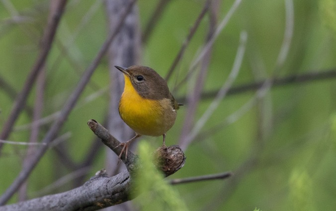 Common Yellowthroat by Richard Kostecke - La Paz Group