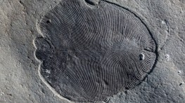 Organically preserved Dickinsonia fossil from the White Sea area of Russia.