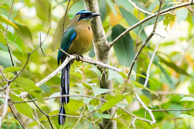 Lesson's Motmot by Leander Khil - La Paz Group