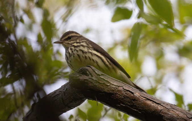 Northern Waterthrush by Richard Kostecke - La Paz Group