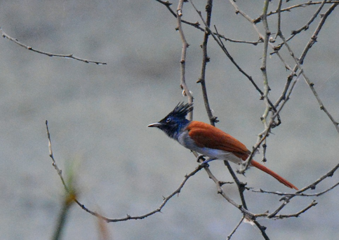 Indian Paradise Flycatcher by Puneet Dhar - La Paz Group