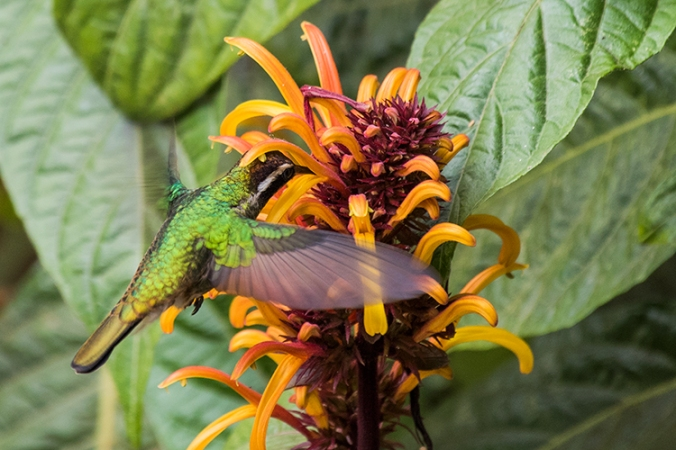 White-eared Hummingbird by Leander Khil - La Paz Group