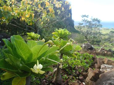 B.insignis-outplanted-in-former-range-at-LImahuli-Garden-2_web