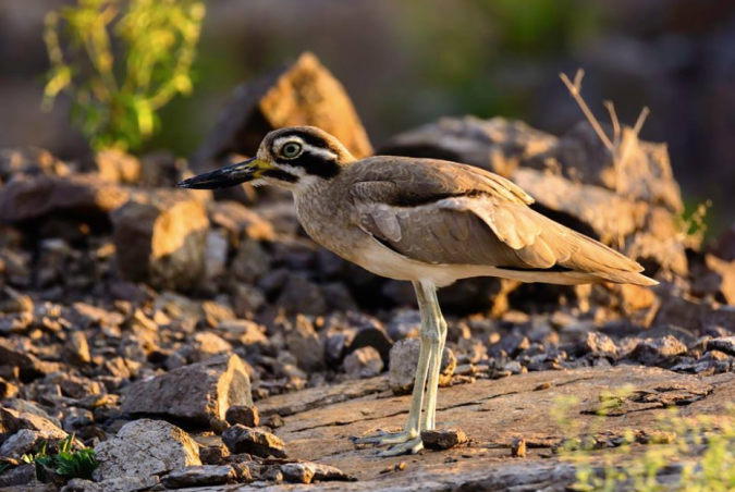 Great Thick-knee by Ramesh Desai - La Paz Group