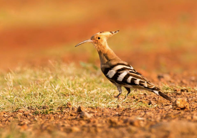 Eurasian Hoopoe by Ramesh Desai - La Paz Group
