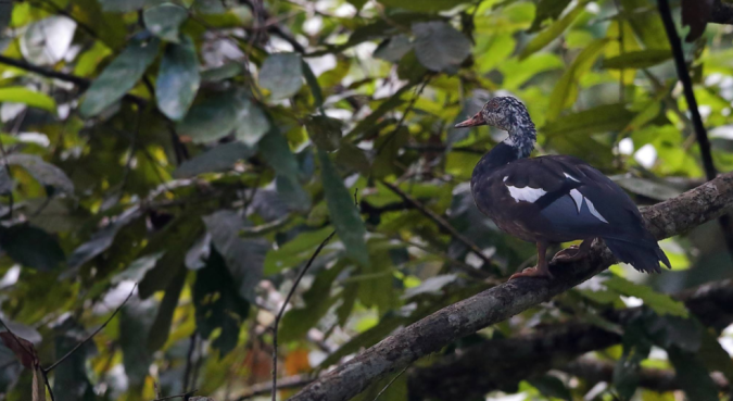 White-winged Duck by Gururaj Moorching - La Paz Group