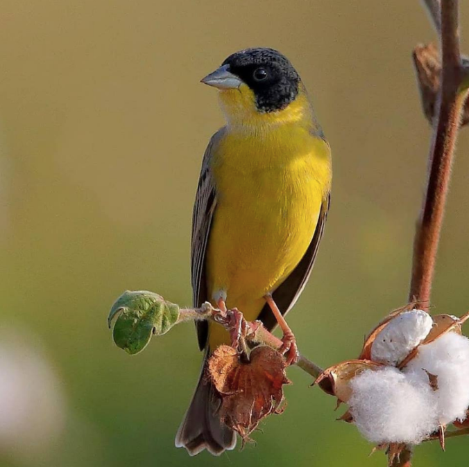 Black-headed Bunting by Gururaj Moorching - La Paz Group