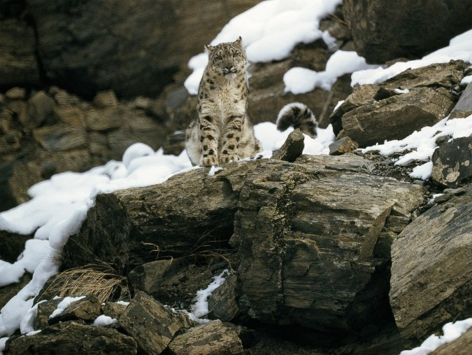 OConnor-The-Snow-Leopard.jpg