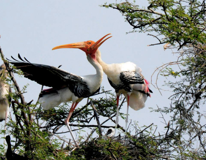 Painted Storks by Puneet Dhar - La Paz Group