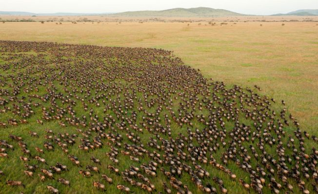 Wildebeest_Migration_in_Serengeti_National_Park_Tanzania_web.jpg