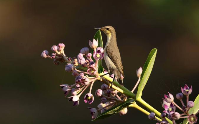 Purple Sunbird by Ramesh Desai - La Paz Group