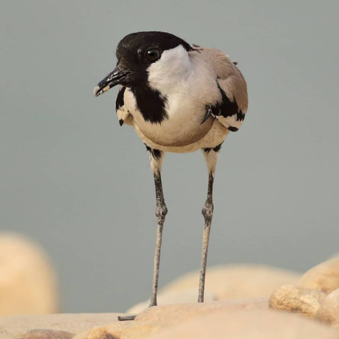 River Lapwing by Gururaj Moorching - La Paz Group