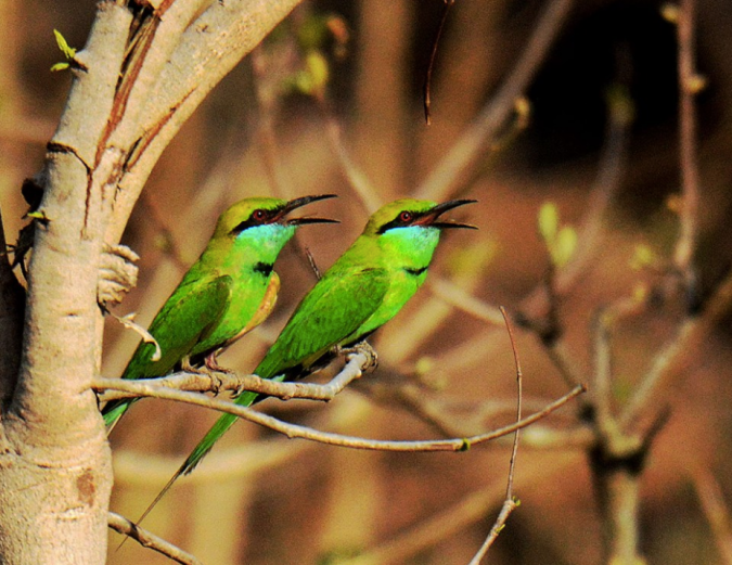 Green Bee-eaters by Puneet Dhar - La Paz Group