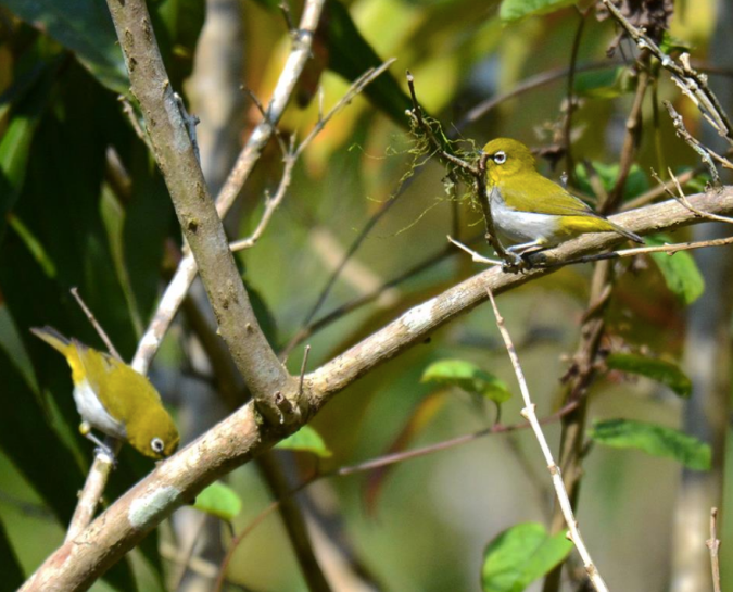 Oriental White-eye by Puneet Dhar - La Paz Group