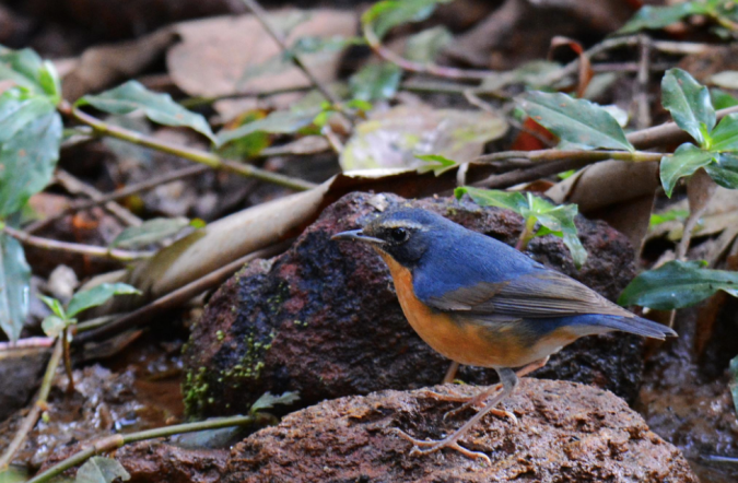 Indian Blue Robin by Puneet Dhar - La Paz Group