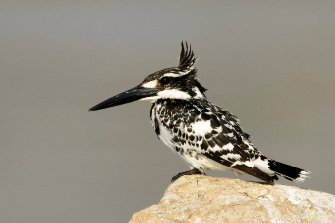 Pied Kingfisher by Ramesh Desai - La Paz Group