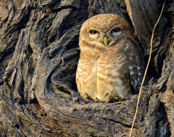 Spotted Owl by Puneet Dhar - La Paz Group