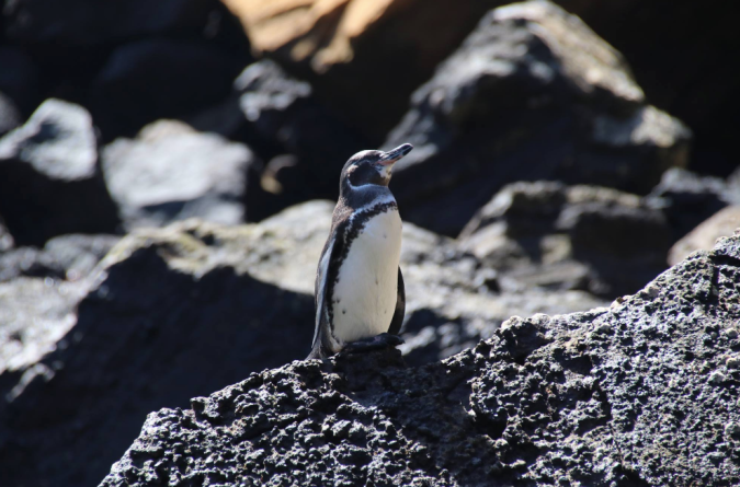 Galapagos Penguin by Stephen Crafts - La Paz Group