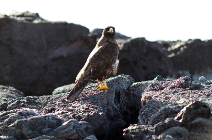 Galapagos Hawk by Stephen Crafts - La Paz Group