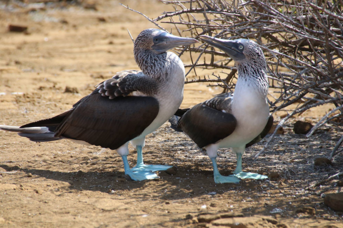 Blue-footed Booby pair by Stephen Crafts - La Paz Group