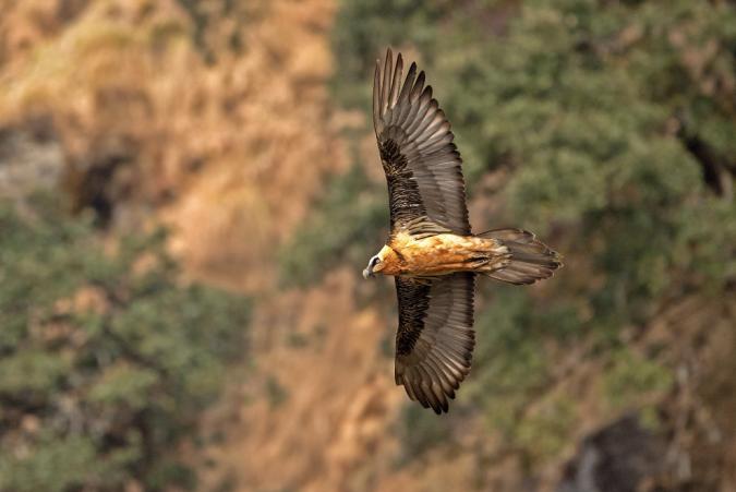 Bearded Vulture by Dr. Eash Hoskote - La Paz Group