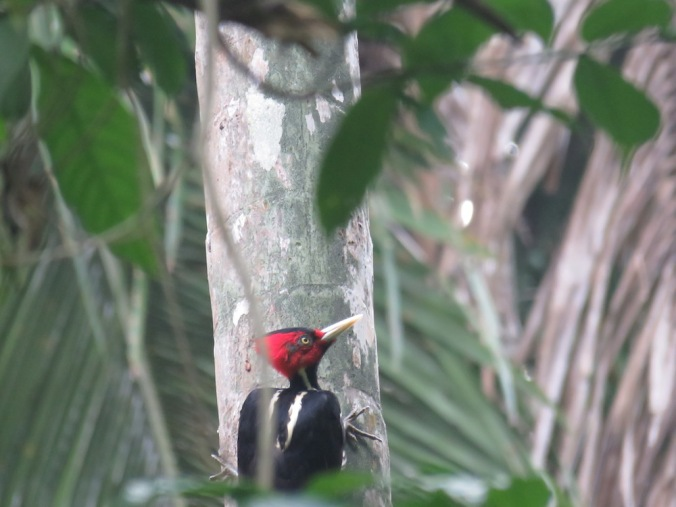 Pale-billed Woodpecker by Seth Inman - La Paz Group