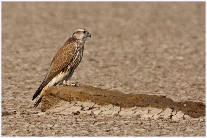 Saker Falcon by Puneet Dhar - La Paz Group