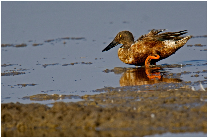 Shoveler by Puneet Dhar - La Paz Group