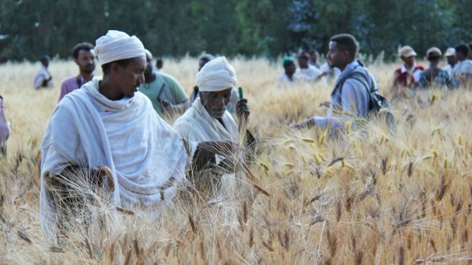 Ethiopia_Wheat_23496722552_5868e72816_k_web