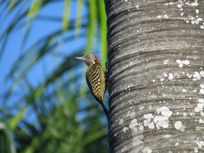 Hispaniolan Woodpecker by Seth Inman - La Paz Group