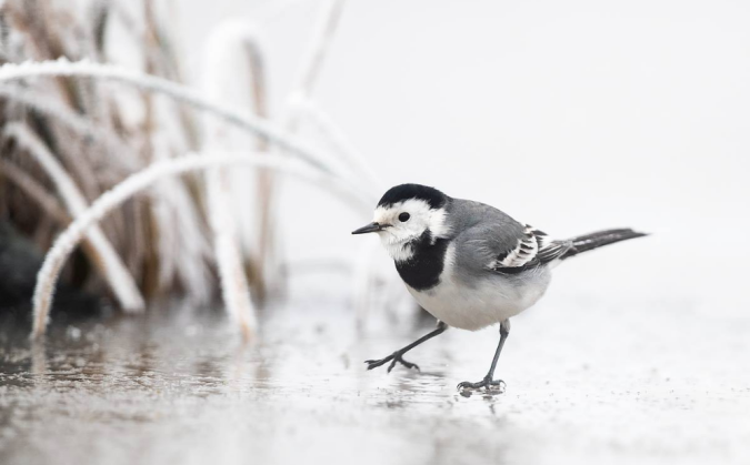 White Wagtail by Leander Khil - La Paz Group