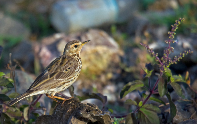 Red-throated Pipit by Puneet Dhar - La Paz Group