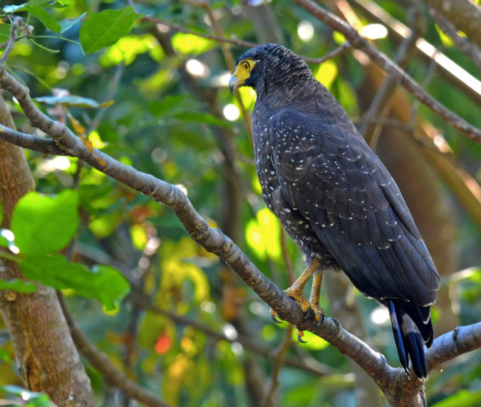 Andaman Serpent Eagle by Puneet Dhar - La Paz Group