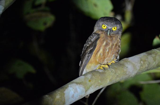 Andaman Hawk-Owl by Puneet Dhar - La Paz Group