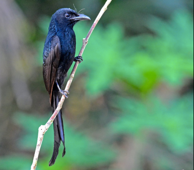 Andaman Drongo by Puneet Dhar - La Paz Group