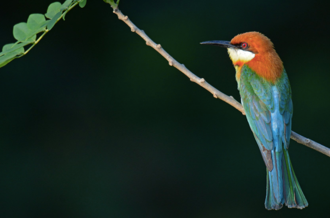 Chestnut-headed Bee-eater by Puneet Dhar - La Paz Group